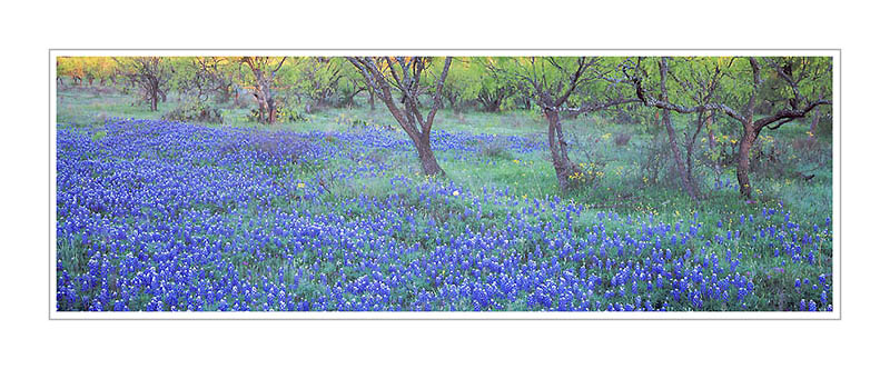 Picture: Bluebonnets, Llano, Texas