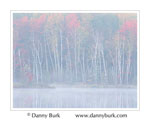 Picture: White Birches and Maples in morning mist, Council Lake, Hiawatha National Forest, Upper Peninsula, Michigan