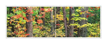 Picture: Maples, Hiawatha National Forest, Upper Peninsula, Michigan