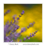 Lavender and coreopsis, South Bend, Indiana
