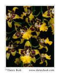 Picture: Oncidium orchid